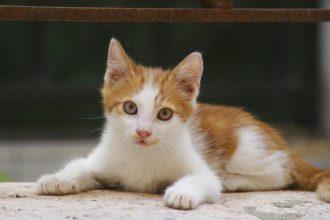 Kedilerde Bağırsak Kurdu Nedir? Nasıl Tedavi Edilir?