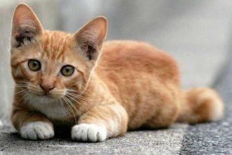 Kedilerde öksürük