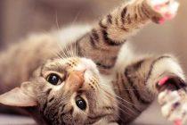 Kedilerde Tüy Bakımı Nasıl Yapılır?