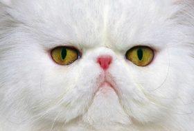 Kedilerde Yüz Felci Nedir? Nasıl Tedavi Edilir?