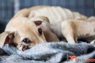 Kilo Alması Gereken Köpekler İçin En İdeal 5 Köpek Maması
