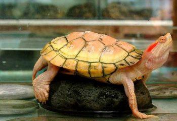 Kırmızı Yanaklı Kaplumbağa