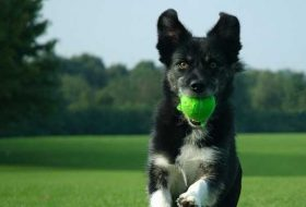 Köpeklere Nasıl Eğitim Verilir? Köpeklerde Eğitimin Önemi