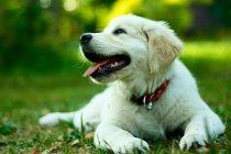 Köpek Tasması Seçimleri Nasıl Yapılmalıdır?