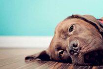 Köpeklerin Yaralarını Hızlı Bir Şekilde İyileştirmek İçin 3 Yöntem