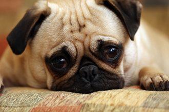 Köpeklerde Gençlik Hastalığı Nedir? Nasıl tedavi Edilir?