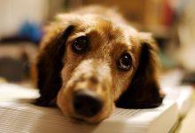 Köpeklerde İshal Neden Olur? Nasıl Tedavi Edilir?