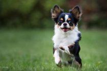 Köpekler neden havlar?