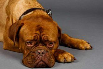 Köpeklerde Ağrı