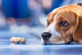 Köpeklerde Anemi Nedir? Belirtileri ve Nedenleri