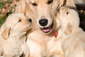 Köpeklerde Evde Doğum Nasıl Yapılır?