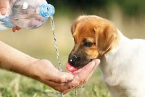 Köpekler Soğuk Su İçebilir Mi?