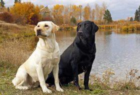 Labrador Cinsi Köpeklerin Özellikleri ve Bakımı