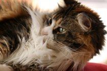 Maine Coon Kedi Cinsi
