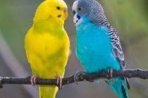 Muhabbet kuşları nasıl eğitilir?