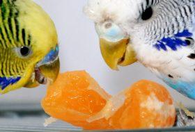 Muhabbet Kuşu Konuşturma Teknikleri