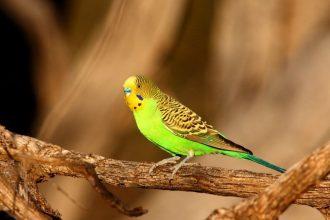 Muhabbet kuşum konuşmayı öğrenmedi, neden olabilir?