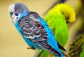 Muhabbet kuşunuza iyi bakın