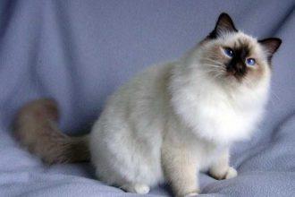 Ragdoll Kedi Cinsi Özellikleri ve Bakımı