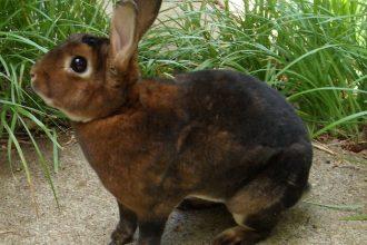 Rex Tavşanı