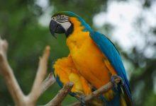 Sarı Mavi Ara (Ara ararauna)