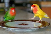 Şeftali yüzlü cennet papağanı