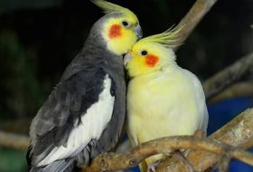 Sultan Papağanı Özellikleri ve Bakımı
