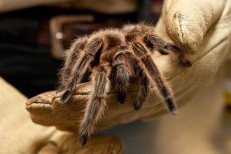 Tarantula nasıl bir örümcek türüdür?