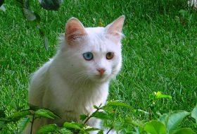 Van Kedisi Karakteristik Özellikleri ve Bakımı