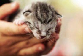 Yavru kedi maması