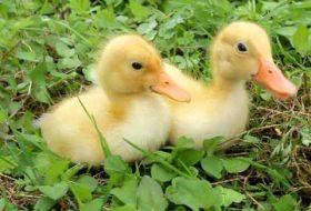 Yavru Ördeklerin Cinsiyeti Nasıl Anlaşılır?