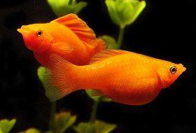 Canlı Doğuran Akvaryum Balık Türleri