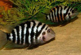 Zebra cichlid bakımı, beslenmesi